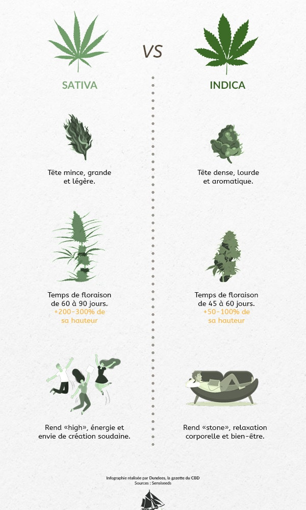 infographie sativa et indica dundees